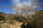 Fall colors on the Altadena Crest Trail, San Gabriel Valley, CA