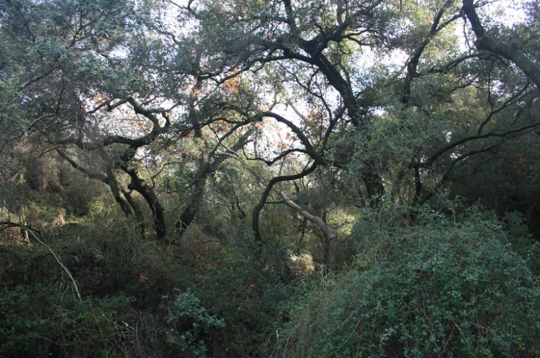 Oaks and sycamores in Wilderness Gardens Preserve, San Diego County, CA