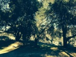 Oak woodlands on the Pacific Crest Trail en route to Agua Caliente, San Diego County, CA