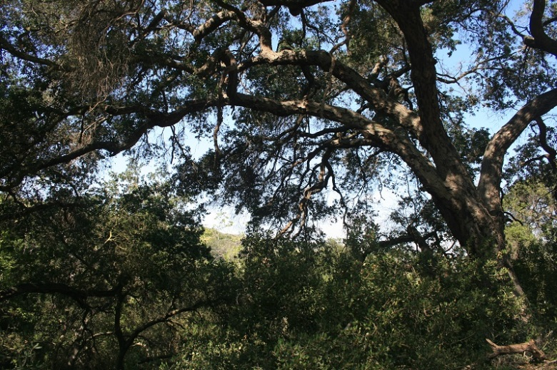 Oaks in Irvine Open Space Preserve, Orange County, CA
