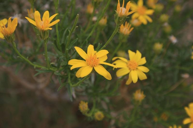 Spring wildflowers above Deep Creek, San Bernardino Mountains, Lake Arrowhead, CA