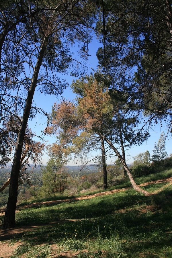 Pines on the Horse Trail, Eaton Canyon, Pasadena, CA