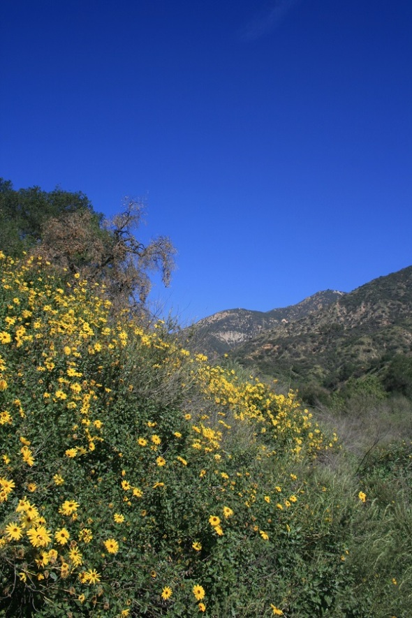 Wildflowers, Eaton Canyon, Pasadena, CA