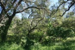 Oaks in Eaton Canyon, Pasasdena, CA
