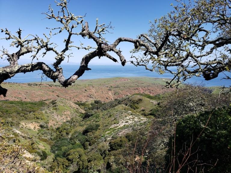 Island scrub oak, Santa Cruz Island