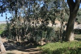 Rattle Eucalyptus Grove