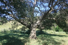 Devil Big Oak