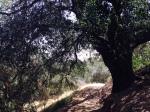 Oak on the Oak Grove Trail, Chino Hills, CA