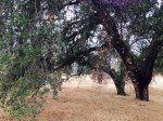 Big oak tree, Oakmont Trail, Redlands, CA