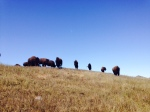 Bison herd, Trans-Catalina Trail