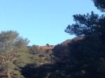 Bison, Black Jack Campground, Catalina Island