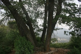 Black oaks on the trail to Constance Peak, San Bernardino National Forest, CAonstance Peak,