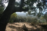 Oak tree on the McMenemy Trail, Montecito, CA