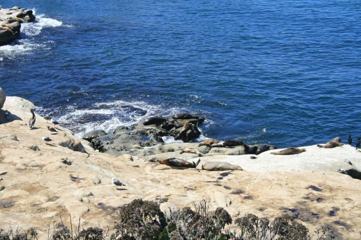 Sea lions, La Jolla Bay, San Diego, CA