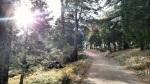 Pines on Cuyamaca Peak, San Diego County, CA