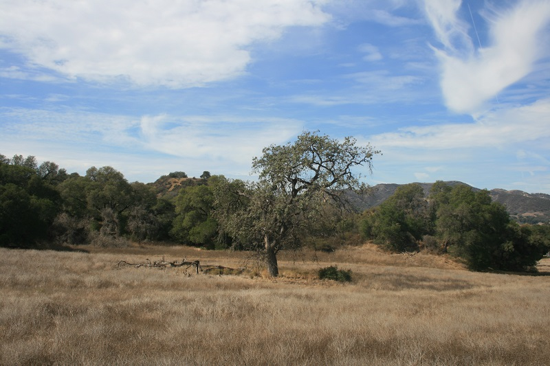 Valley Oak at King Gillette Ranch, Santa Monica Mountains, CA