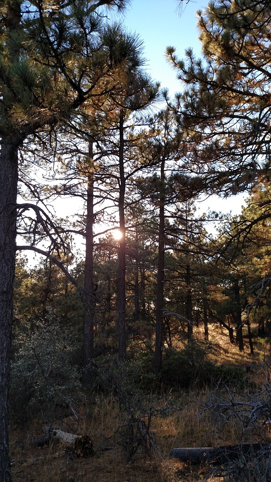 Pines on the Kwaaymii Trail, San Diego County, CA