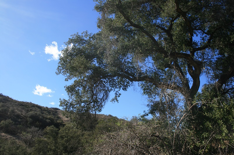 Oak in the Angeles National Forest foothills near Lake View Terrace, CA