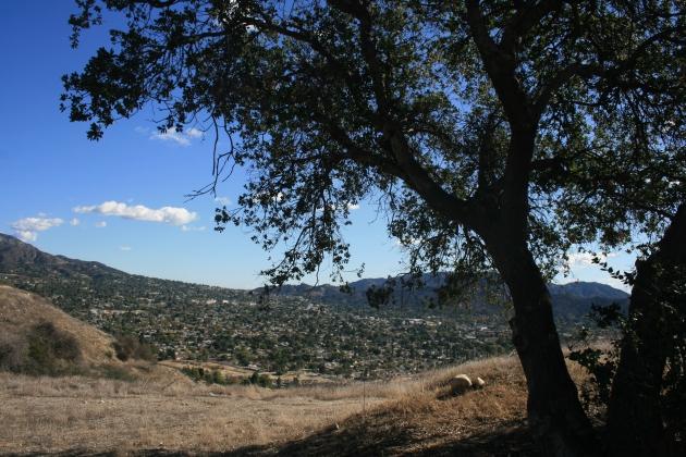 Oak tree, Conover Fire Road, Lake View Terrace, CA