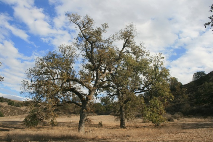 Oaks, Morrison Ranch, San Fernando Valley, CA