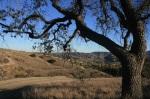 Oak tree, Morrison Open Space, Calabasas, CA