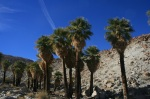 Pygmy Palms, Mountain Palm Springs, San Diego County, CA
