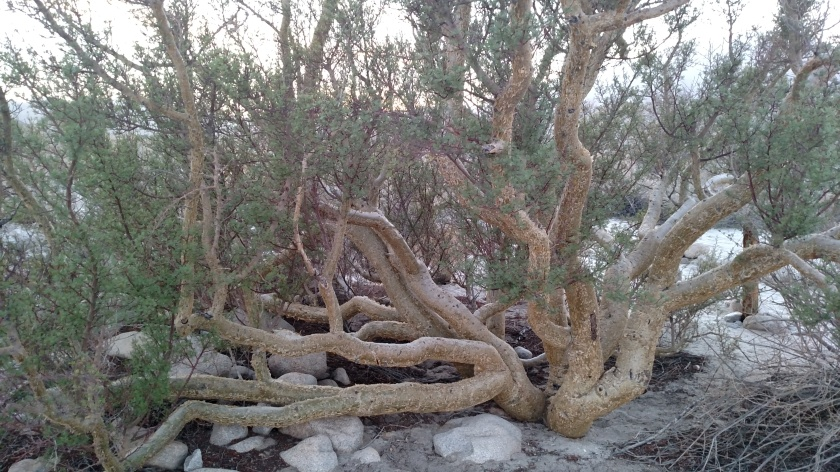 Elephant tree in Anza-Borrego Desert State Park