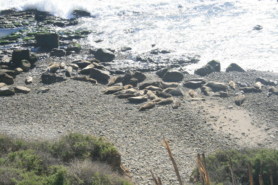 Carpinteria Bluffs Seal Sanctuary