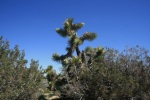 Joshua Tree at Arthur B. Ripley Desert Woodland State Park, California