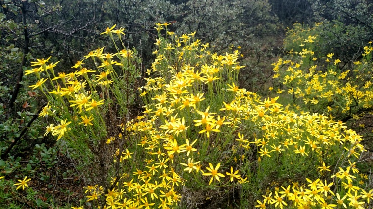 Wildflowers, Gene Marshall Trail, Los Padres National Forest, CA