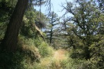 Pines and firs on the South Fork Trail, Idyllwild, CA