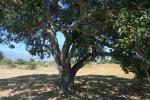 Oak tree, Lake Los Carneros, Goleta, CA