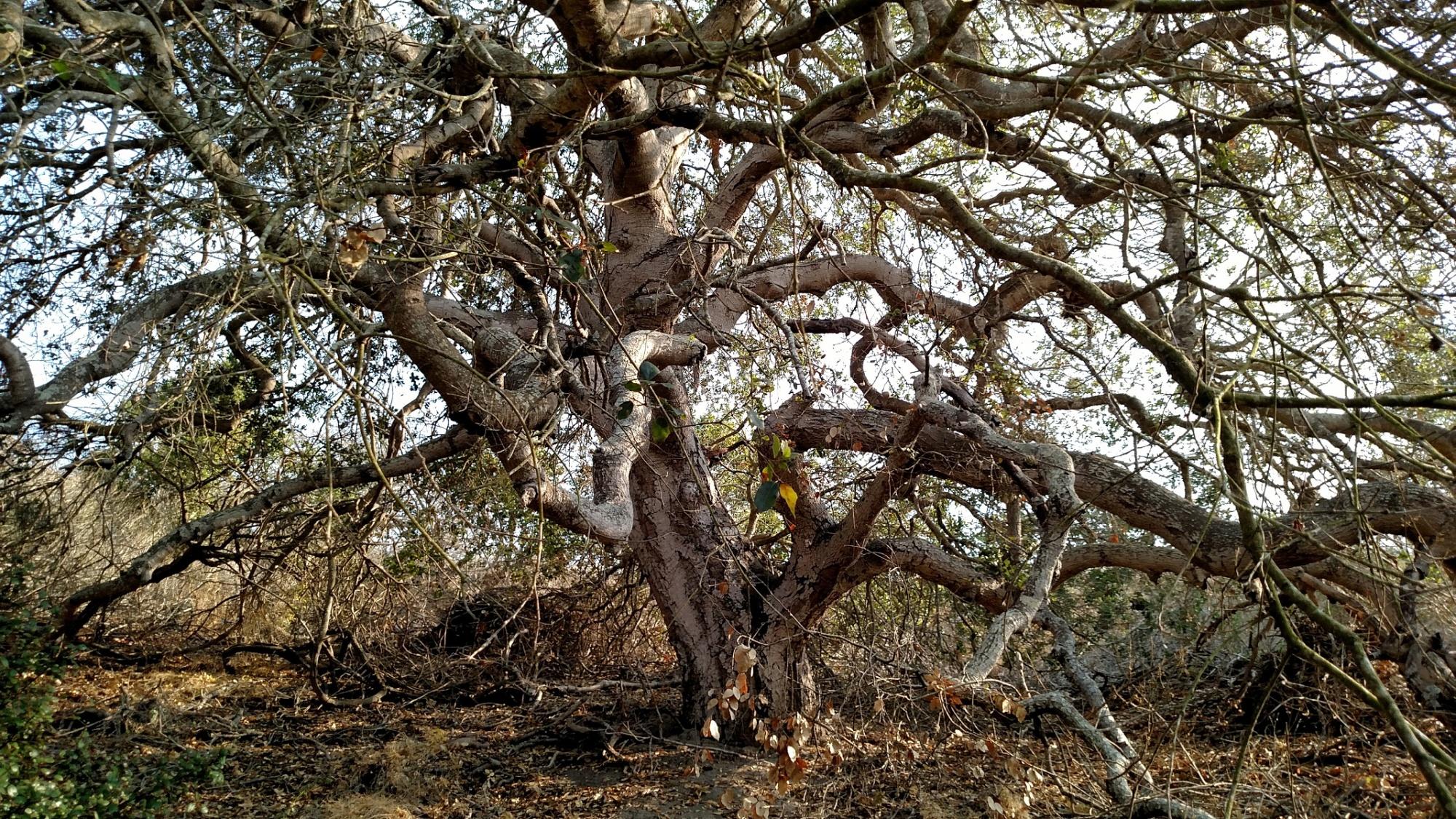 Oak at Elings Park, Santa Barbara, CA