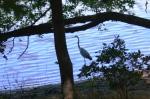 Blue heron, Lake Gregory, Crestline, CA