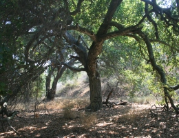 Oaks at San Marcos Foothills Nature Preserve, Santa Barbara, CA