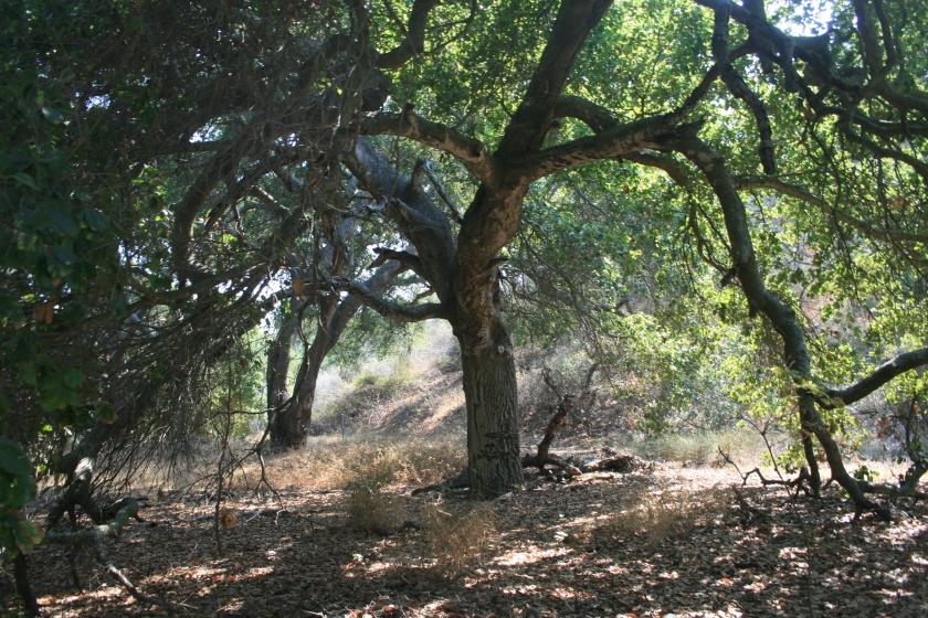 Oaks at San Marcos Foothills Nature Preserve, Santa Barbara, CA