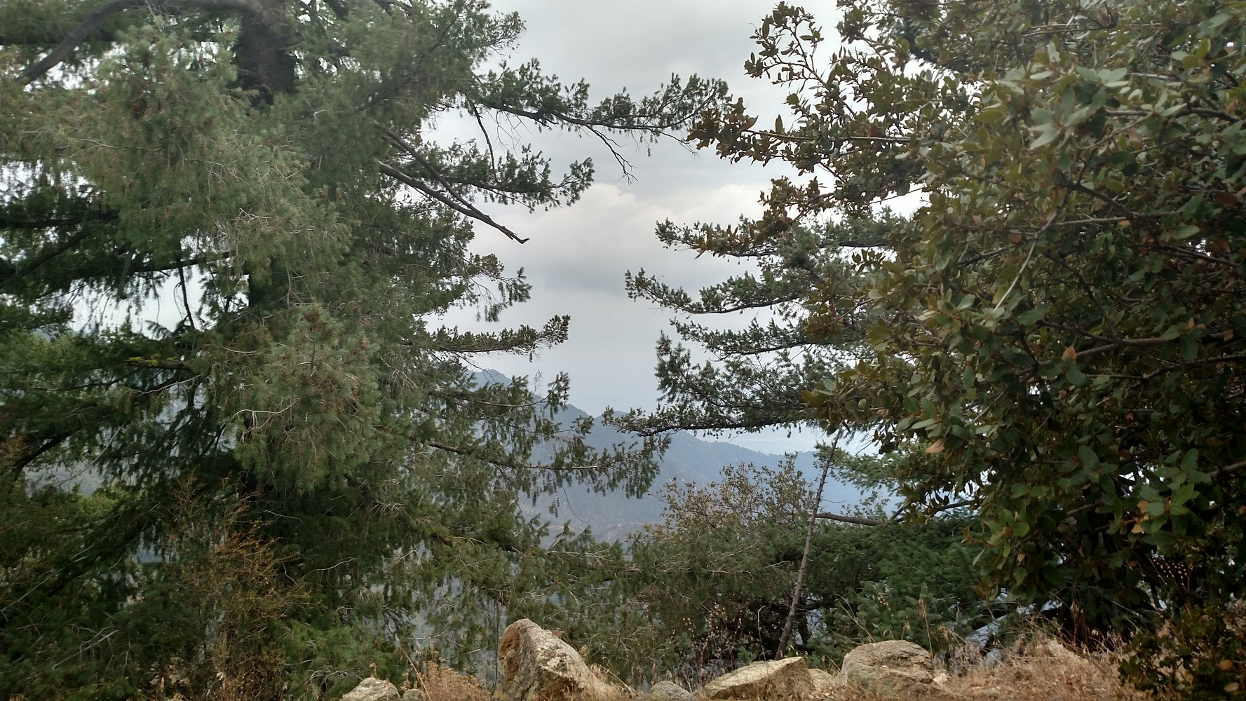 Pines on Occidental Peak, Angeles National Forest