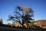Black oak, Cleveland National Forest, San Diego, CA