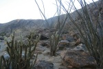 Cacti in Borrego Palm Canyon, San Diego County, CA