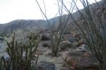 Cacti in Borrego Palm Canyon, San Diego County, CA