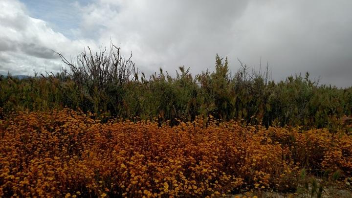 Goldfield flowers, Soda Lake, CA