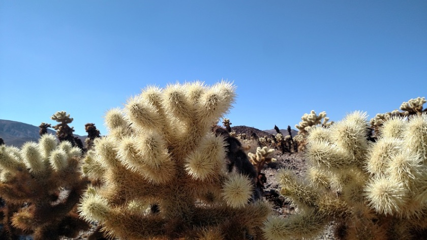 Cholla Cactus Garden Trail, Joshua Tree National Park, CA