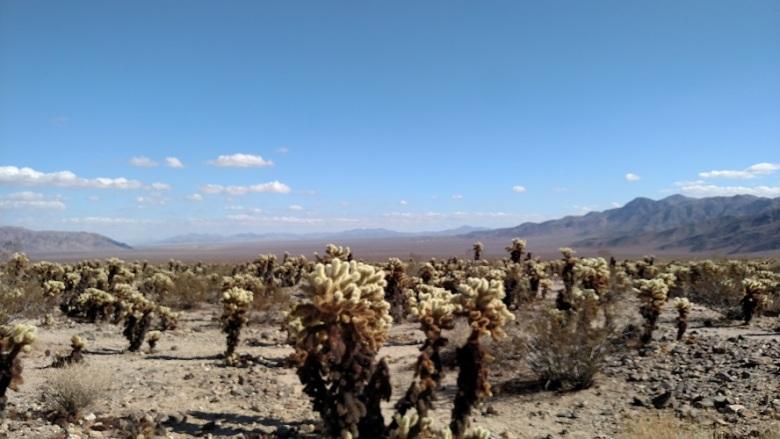 Cholla Cactus Garden Trail, Joshua Tree National Park