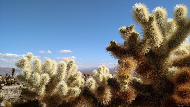 Cholla Cactus Garden Trail, Joshua Tree, CA
