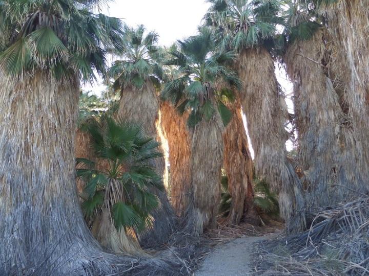 San Andreas Oasis, Dos Palmas Preserve, Mecca, CA