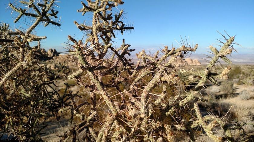 Pencil cholla, Joshua Tree National Park